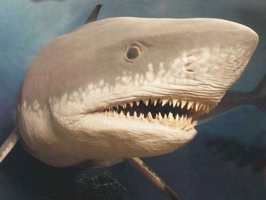 """Từng được mệnh danh là kẻ săn mồi siêu hạng, Megalodon khiến các sinh vật """"chết khiếp"""" mỗi khi xuất hiện với cơ thể dài 18m, nặng 100 tấn cùng những chiếc răng sắc nhọn dài tới 18cm. Tuy nhiên, cách đây khoảng 28 triệu năm đến 1,5 triệu năm, chúng bỗng dưng biến mất không dấu vết. Rất nhiều giả thuyết được đưa ra như sự suy giảm của cá voi khổng lồ (thức ăn chủ yếu), mực nước biển xuống thấp, khí hậu lạnh hơn... nhưng chưa ai dám khẳng định. (Ảnh: Internet)"""