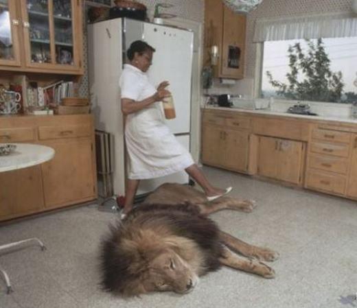 Nuôi sư tử làm thú cưng. (Ảnh: Internet)
