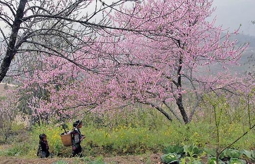 Hoa đào Sa Pa(Ảnh: Internet)