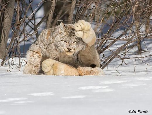 Đây là linh miêu Canada (Lynx canadensis) -giống mèo lớn thuộc Chi Linh miêu. Như cái tên, chúng có nguồn gốc và xuất hiện chủ yếu tạiCanada, khá thông minh nhưng nhút nhát, trốn rất kĩ nên cựckhó bắt gặp. (Ảnh: Boredpanda)