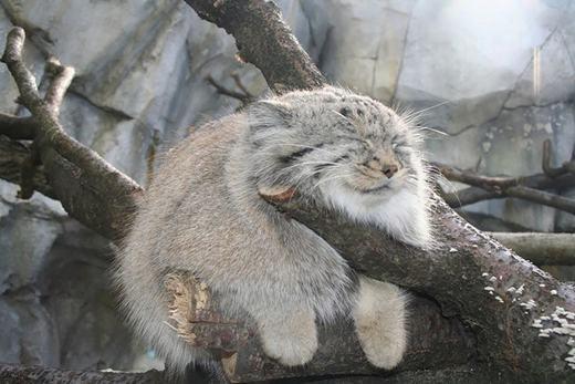 Là một loài mèo hoang nhỏ thuộc họ Mèo, mèo Pallas (Otocolobus manul) có kích thước tương đương mèo nhà, chủ yếu sốngở miền núi vùngTrung Á. Hiện nay, số lượng cũng như môi trường sống của chúng cũng đang dần bị thu hẹp do tác động từ con người. (Ảnh: Boredpanda)