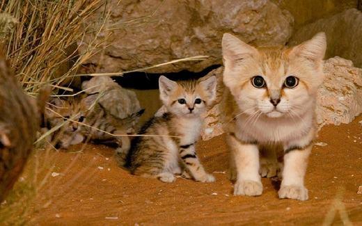 """Mèo cát đặc trưng với khả năng sống ở vùng sa mạc, hoang mạc khô cằn. Độ thích nghi của chúng khiến những loài sống ở sa mạc khác cũng phải """"chào thua"""". Loài mèo này có đôi tai lớn, thân hình nhỏ rất dễ thương. (Ảnh: Boredpanda)"""