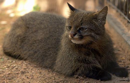 Còn đây là mèo Pampas, đặc điểm nhận dạnglà mũi ngắn, chòm lông trắng dưới cằm, thân có lông trắng/vàng xen kẽ và đôi tai vểnh. Tuy có vẻ bề ngoài rất đáng yêu nhưng đây lại là một sát thủ đáng sợ. (Ảnh: Boredpanda)