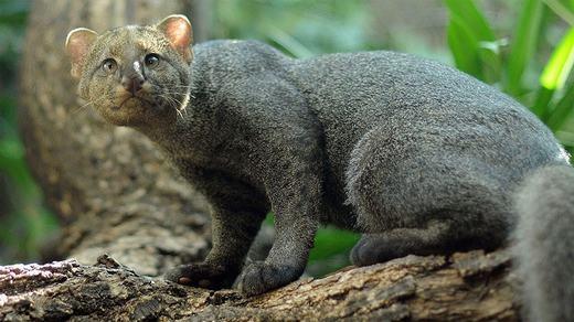 """Loài mèo kích thước nhỏ này mang tên mèo cây, sinh sống ở Trung và Nam Mỹ. Bộ lông ngắn, xám đen, khuôn mặt và đôi tai tròn cùng khả năng trèo cây """"bá đạo"""" là đặc trưng của nó. (Ảnh: Boredpanda)"""