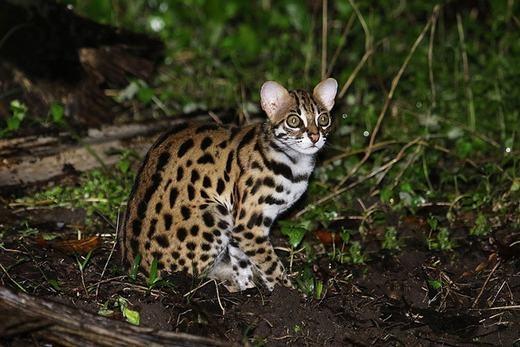 Mèo báo Prionailurus Bengalensis, có ngoại hình, đặc biệt là bộ lông đốm đen rất giống báo gấm. Chúng được phát hiện chủ yếu ở Nam và Đông Á. (Ảnh: Boredpanda)