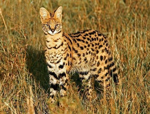 """Được xem là loài mèo """"ngầu"""" nhất, mèo đồng cỏ châu Phi nổi bật với khuôn mặt dữ tợn, lông đốm gần như báo và dáng thanh mảnh. Đây là một trong những sát thủ vùng đồng cỏ châu Phi. (Ảnh: Boredpanda)"""