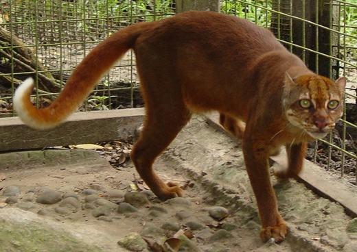 Còn đây là mèo bay, mèo nâu đỏ (Catopuma Badia) cực quý hiếm và gần như không xuất hiện. Ngoài hình của nó khá giống khỉ. (Ảnh: Boredpanda)