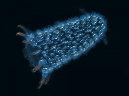 Thực chất, Pyrosomelà sự tập hợp của hàng ngàn sinh vật nhỏ bé hơn, được các nhà khoa học đặt tên Zooid. Chúngsinh sản bằng nhân bản vô tính. (Ảnh: Internet)