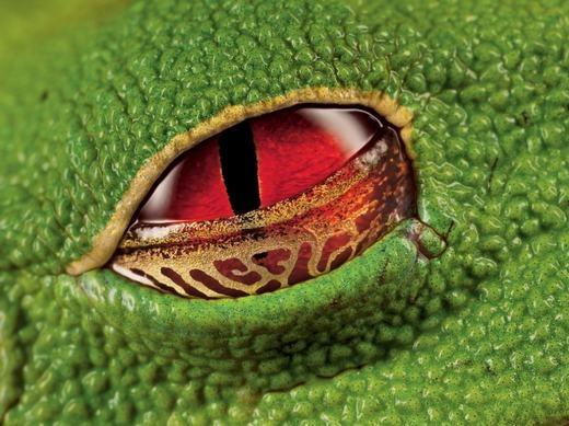 Cận cảnh con mắt đáng sợ của ếch xanh. (Ảnh: Internet)