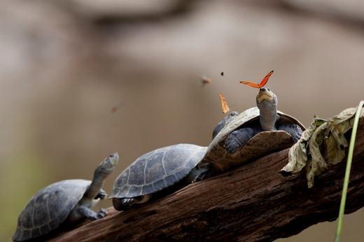 Khi rùa và bướm vờn nhau. (Ảnh: Internet)