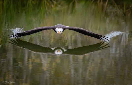 Đại bàng dũng mãnh sà xuống mặt nước săn mồi. Khung cảnh được ghi lại ở Canada. (Ảnh: Internet)
