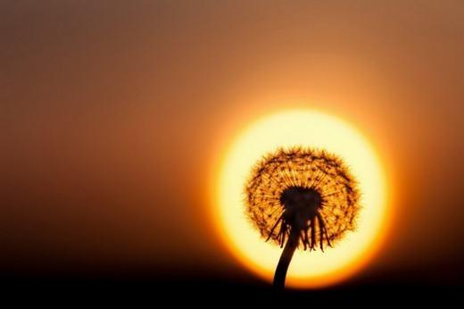 Nụ hoa khi kết hợp với mặt trời buổi chiều tà. (Ảnh: Internet)