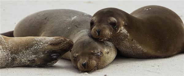 Đến đây, du khách sẽ dễ dàng bắt gặp hình ảnh những chú hải cẩu nằm tắm nắng bên bờ biển Ohana.(Ảnh: Bored Panda)