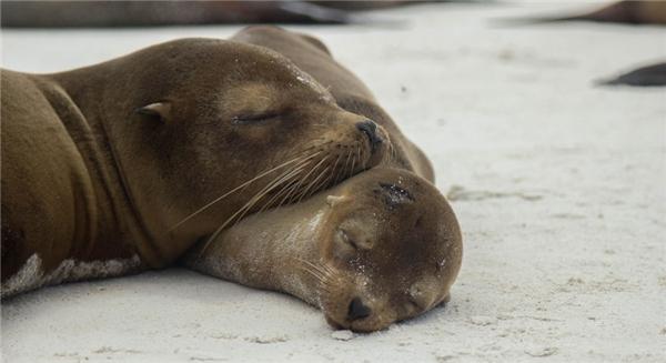 Cặp mẹ con hải cẩu gối đầu lên nhau ngủ một cách ngon lành.(Ảnh: Bored Panda)