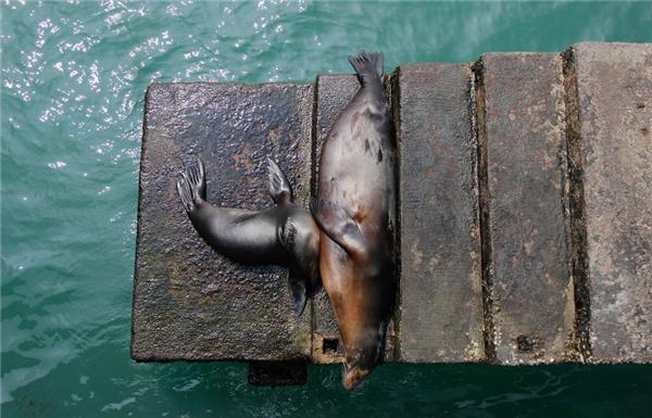 Chú hải cẩu này chọn cây cầu gỗ nhỏ làm chốn ngả lưng sau một chuyến bơi lội dài và để tránh những con cá đuối gai độc bên dưới.(Ảnh: Bored Panda)