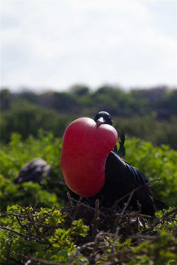 Không thể quên những chú chim Frigett độc đáo ở đây. Một vài con trông như có quả tim khổng lồ ngay trước ngực. Điều đáng chú ý ở đây là những chú chim này sẽ không tự làm xẹp quả tim này cho đến khi tìm được bạn đời, và cũng vì vậy mà chúng có thể sẽ chết đói do quả tim cản tầm nhìn, ảnh hưởngmọi sinh hoạt.(Ảnh: Bored Panda)