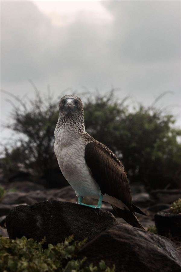 Chim Nazca chân xanh cũng là một loài động vật quý hiếm của quần đảo này và được chính phủ Ecuador ưu tiên bảo vệ.(Ảnh: Bored Panda)