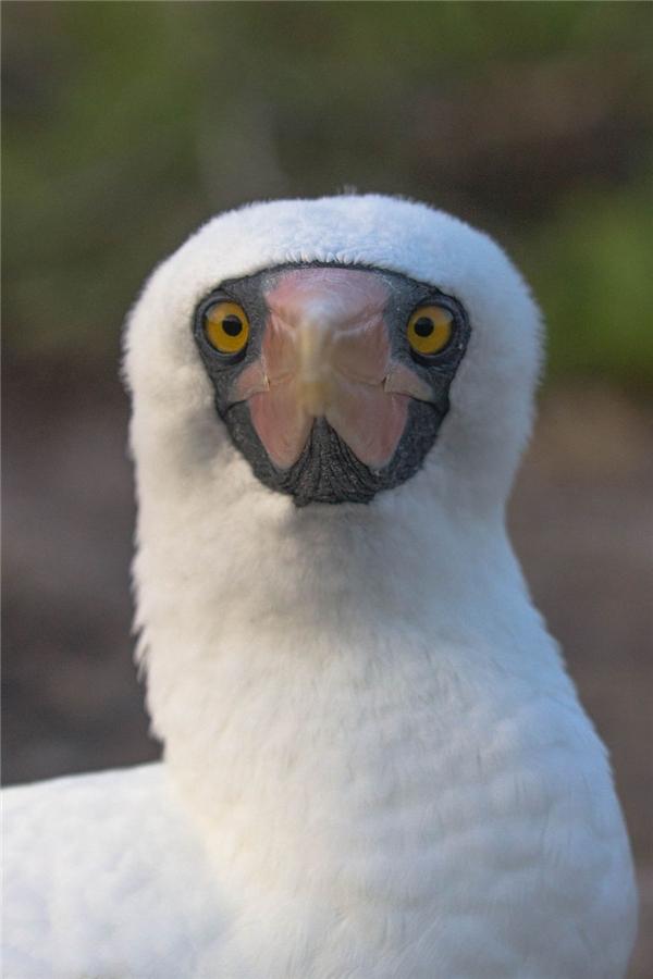 Những chú hải âu có đôi mắt đen rất đẹp này chỉ đến quần đảo một lần mỗi năm.(Ảnh: Bored Panda)