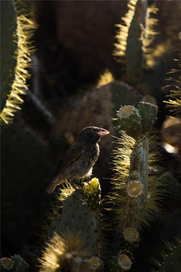 Chim Cactus Finchlà loài động vật mà Darwin yêu thích nhất. Chúng cũng là đối tượng nghiên cứu từng xuất hiện trong nhiều quyển sách khoa học quan trọng.(Ảnh: Bored Panda)