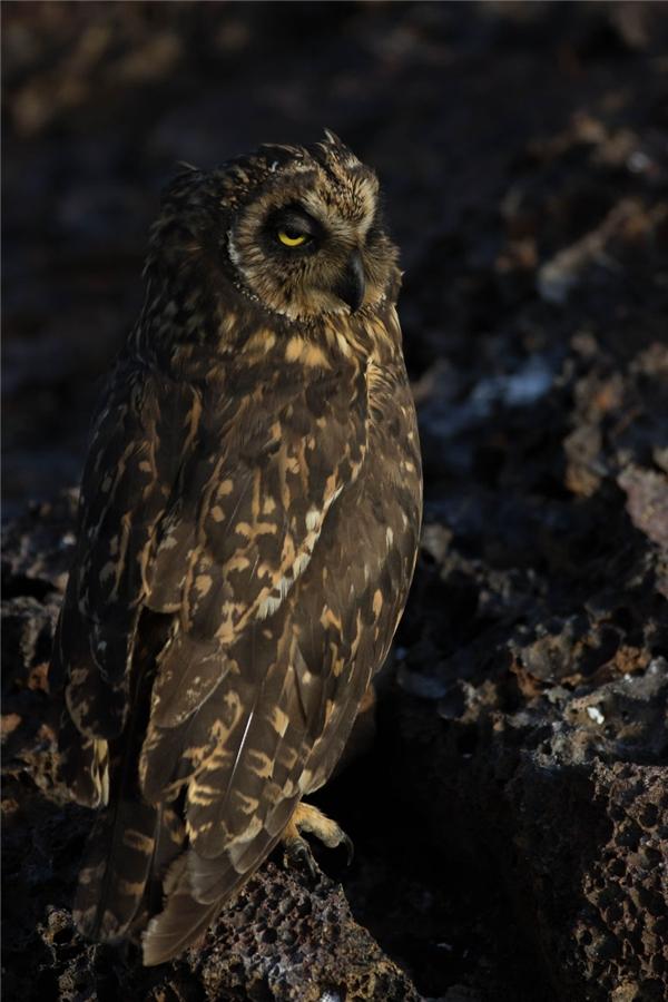 Cú Galapagos là giống chim săn mồisống trên đất liền, có cơ thể nhỏ bé, cao khoảng 45 – 60cm. Chúngsăn thằn lằn Lava và chuột làm thức ăn.(Ảnh: Bored Panda)