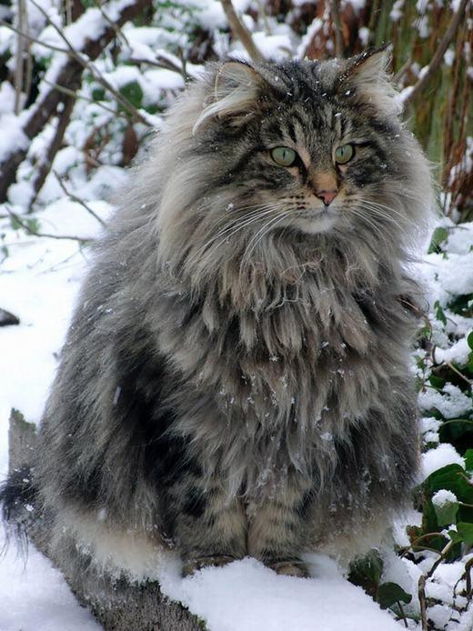 Maine Coonđược xem là mèo nhà lớn nhất với cân nạng6,8 – 11,3kg (con đực) và 4,7 – 7kg (con cái). (Ảnh: Boredpanda)