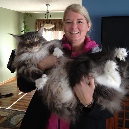 Cũng có giả thuyết cho rằng mèo Maine Coon ra đời từ sự giao phối của mèo nhà với linh miêu. Tuy nhiên, độ tin cậy của nókhông cao. (Ảnh: Boredpanda)