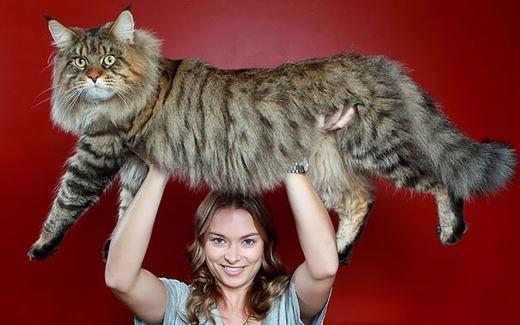 Do đó, chúng rất dễ huấn luyện. Đây cũng là lí do vì sao nhiều người thích nuôi loài mèo này. (Ảnh: Boredpanda)