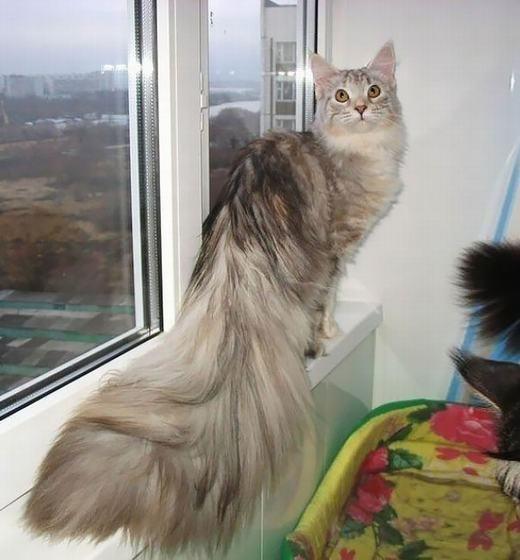 """Tuy nhiên, mèo Maine Coon khá hiền vàđược gọi là """"người khổng lồ dịu dàng"""" có trí thông minh cao hơn mặt bằng chung của loài mèo hiện nay. (Ảnh: Boredpanda)"""
