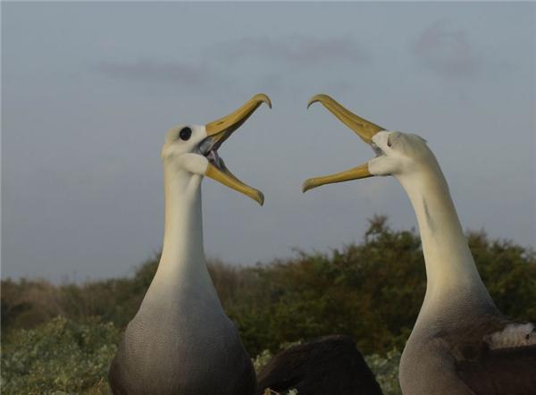 Hiện trên quần đảo Galapagos còn một số loài sinh vật đặc hữu quý hiếm như loàirùa khổng lồ Galapagos, rùa xanh Galapagos, loài kìnhông nước và kìnhông cạn Galapagos,chim cánh cụt Galapagos… (Ảnh: Bored Panda)