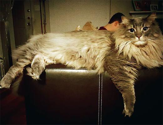 Một số hình ảnh của chú mèo khổng lồ này. (Ảnh: Boredpanda)
