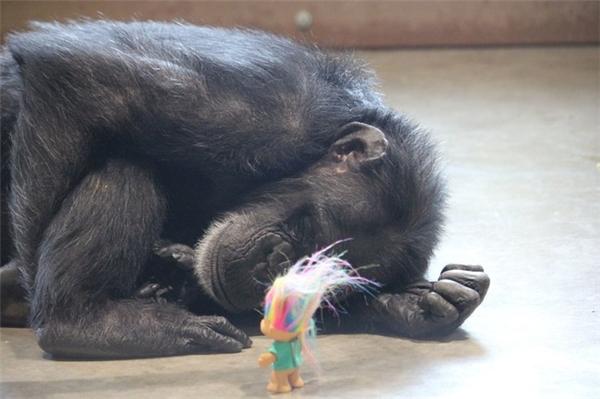 Người chăm sóc trước đây của Foxie nói rằng cô tinh tinh này không còn niềm tin vào con người nữa. (Ảnh: Viral Nora)