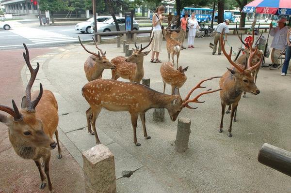 Nếu đến đây du lịch, nhiều người sẽ phải ngạc nhiên khi thấy hàng loạt chú hươu đi chơi dạo phố một cách vô tư như thế này.