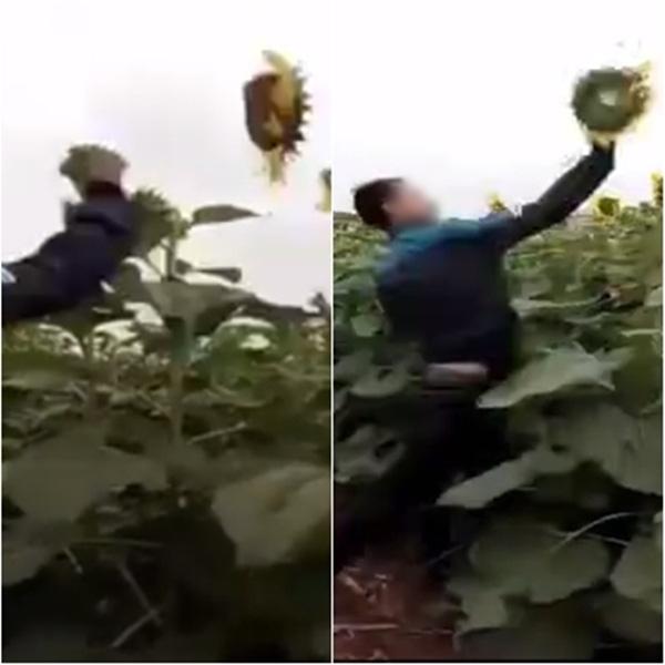 Hình ảnh một trong hai nam thanh niên phá hoại hoa hướng dương ở Nghệ An. Ảnh: cắt từ clip