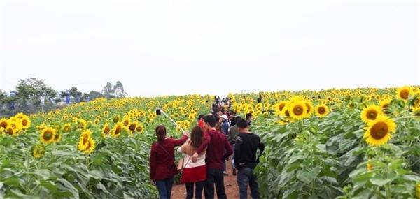 Người tham quan vườn hoa hướng dương tại Nghệ An trong những ngày vừa qua. Ảnh: VNN