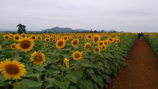 Thực hư xung quanh việc vườn hoa bị du khách giẫm nát ở Lâm Đồng