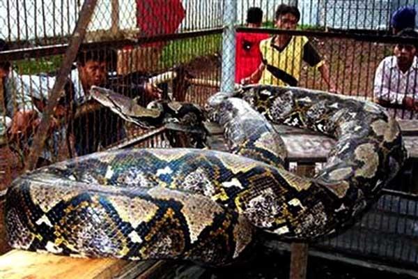Trăn là loài rắn dài nhất thế giới. Bình thường, nó dài từ 5 – 7m và nặng 50 – 60kg. Trong đó, kỷ lục thuộc về loài trăn ở vùng Sumatra, Indonesia. Chú trăn này dài tới 14,85m và nặng 447kg cùng lá phổi đặc biệt phát triển.