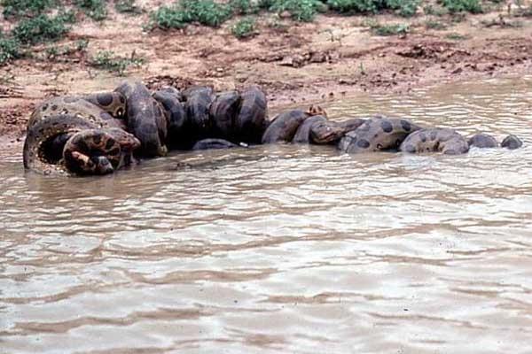 Chúng là loài ưa môi trường nước nên di chuyển khá nhanh khi ở dưới nước và chậm hơn khi trên cạn.