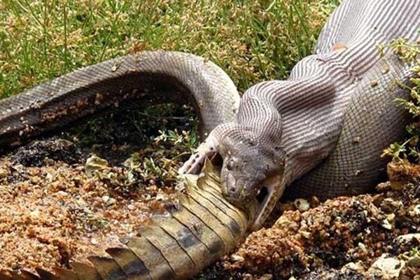 Dạ dày của loài trăn rất lớn và có khả năng tiêu hóa vô cùng mạnh mẽ nên người ta có thể thấy nó nuốt trọn cả con mồi khổng lồ vào bụng. Nếu ăn no, trăn có thể nhịn 1 tháng không sợ đói.