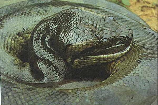 Trăn hiển nhiên trở thành vua trong loài rắn, chúng không hề sợ hãi trước những đồng loại mang kịch độc. Thậm chí, hổ mang chúa cũng có thể trở thành thức ăn cho loài vật khổng lồ này.