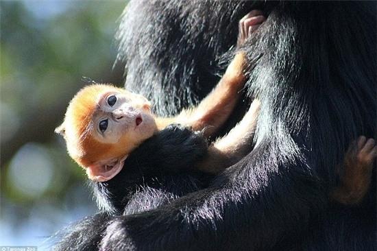 Không chỉ được mẹ chiều chuộng, Nangua còn được Noel và Elke, 2 con tinh tinh cái khác vô cùng yêu thương. Chúng thay phiên nhau chăm sóc chú nhóc lông vàng để Melli có thể nghỉngơi.
