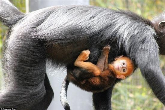 Quản lý sở thú cho biết, vì còn nhỏ nên chân của Nangua vẫn còn yếu nhưng nó lại biết kiểm soát đầu rất tốt.