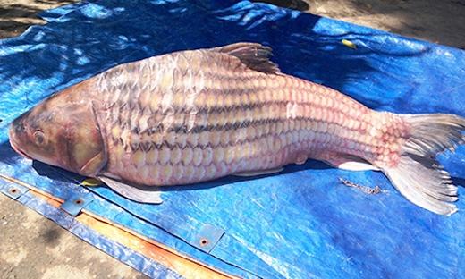 Chủ nhà hàng cho biết đã có nhiều người đặt mua con cá này với giákhoảng 1-1,5 triệu đồng/kg.