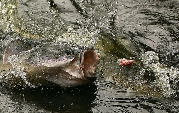 Những chú cá khổng lồ này khá đặc biệt, chúng có khả năng thở bằng cách đớp không khí trên mặt nước. (Ảnh: Internet)