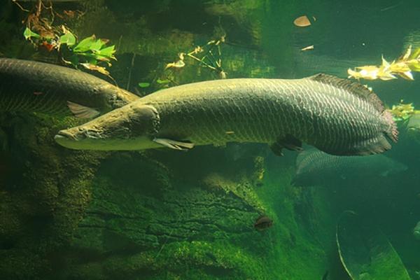 Sốc vớikích thước khủng của quái vật nước ngọt lớn nhất hành tinh
