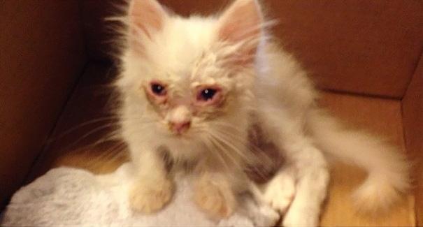 Khi được tìm thấy cách đây vài tuần, mèo Silas chỉ là một chú mèo gầy gò, run rẩy và trông như sắp chết. (Ảnh: Bored Panda)