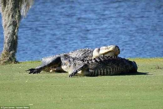 Hai con cá sấu trườn lên bờ và bắt đầu đánh nhau.