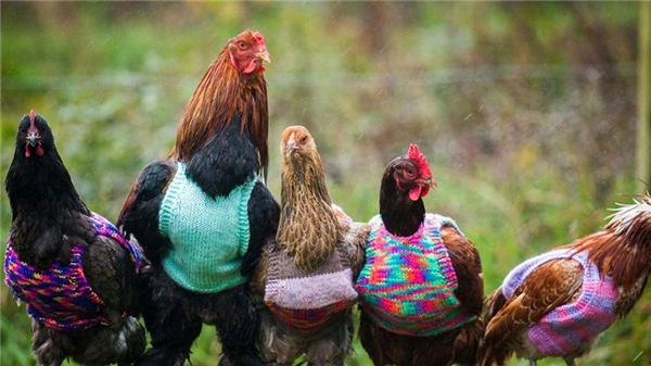 Dù vậy, Jan Brown cũng chưa phải là người duy nhất thể hiện tình yêu của mình dành cho động vật bằng cách đan len. Hai mẹ con cô Nicola Congdon và Ann đến từ nước Anh đã đón nhận những con gà đã già về nuôi tại nhà mình và đan áo len cho chúng. Hiện trại gà tại gia của họ có đến 60 con gà mái, một nửa trong số đó không còn đẻ trứng được nữa. (Ảnh: Internet)