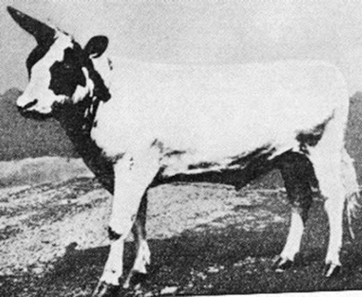 Hình ảnh chú bò một sừng được tiến sĩW.F. Dove lai tạo vào năm 1930. (Ảnh: Internet)