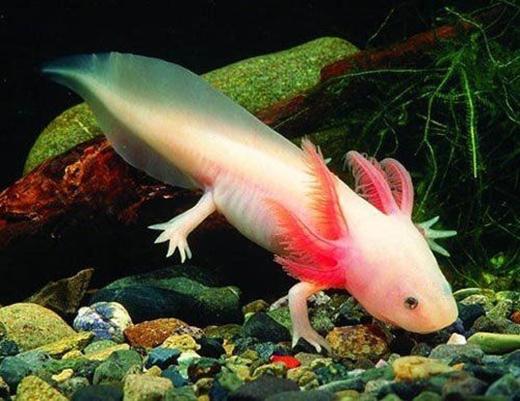 Thân dài, đuôi nhọn, chiếc đầu gần giống với thần rồng của loài cáProteus. (Ảnh: Internet)