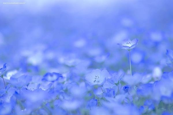 Công viên hoa Hitachi tỉnh Ibaraki.